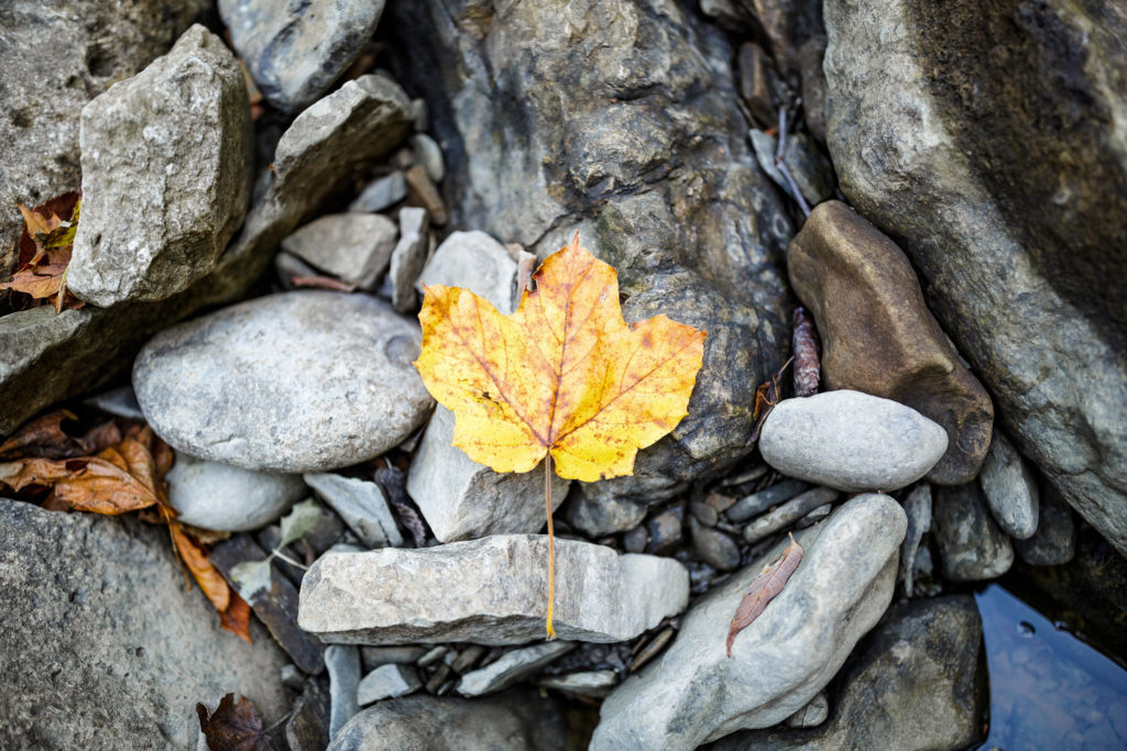 yellow maple leaf detail nature riverstone