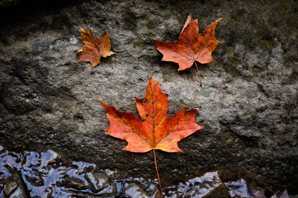 nature photography maple leave ontario rock water river engagement