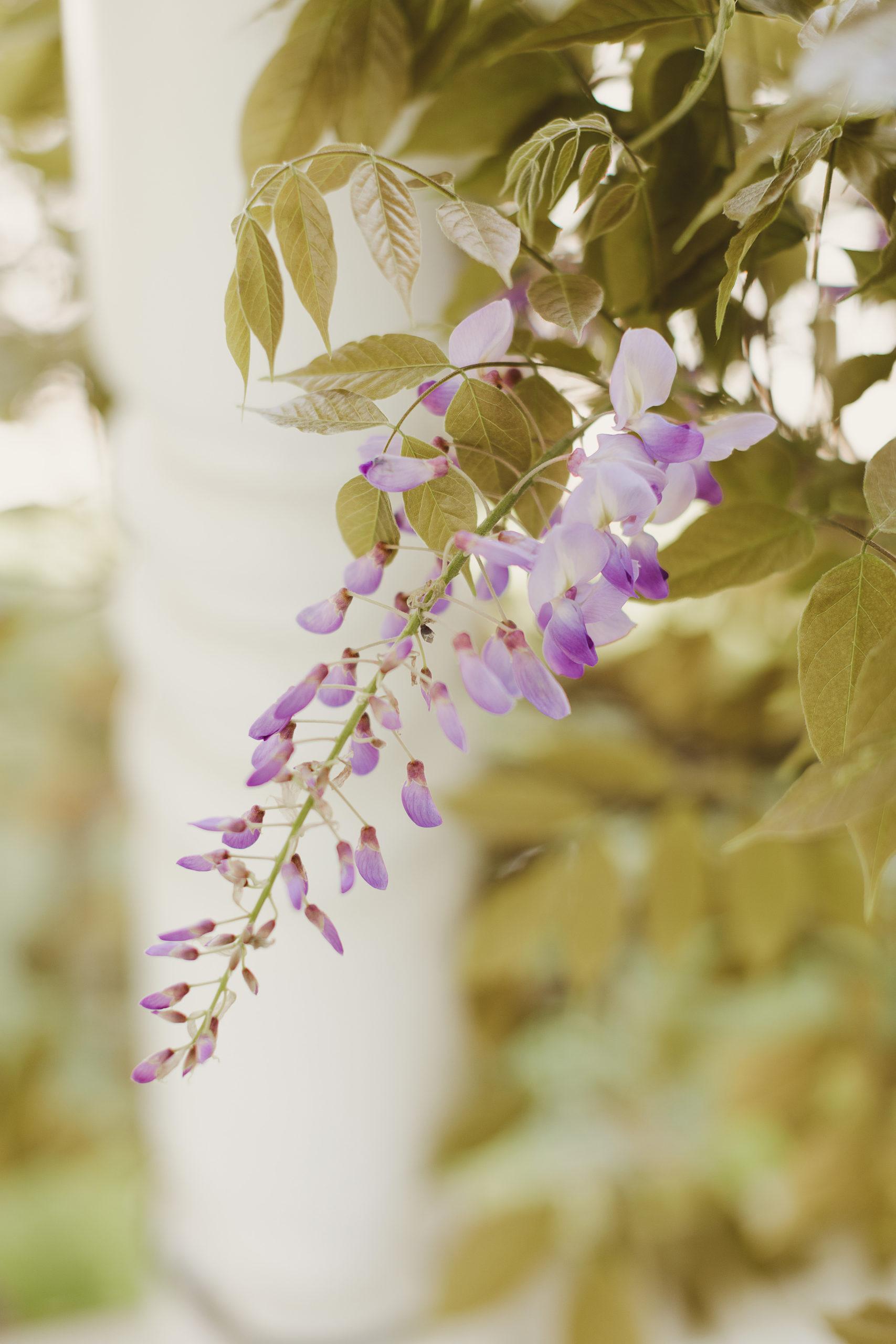 wisteria blossom spring niagara