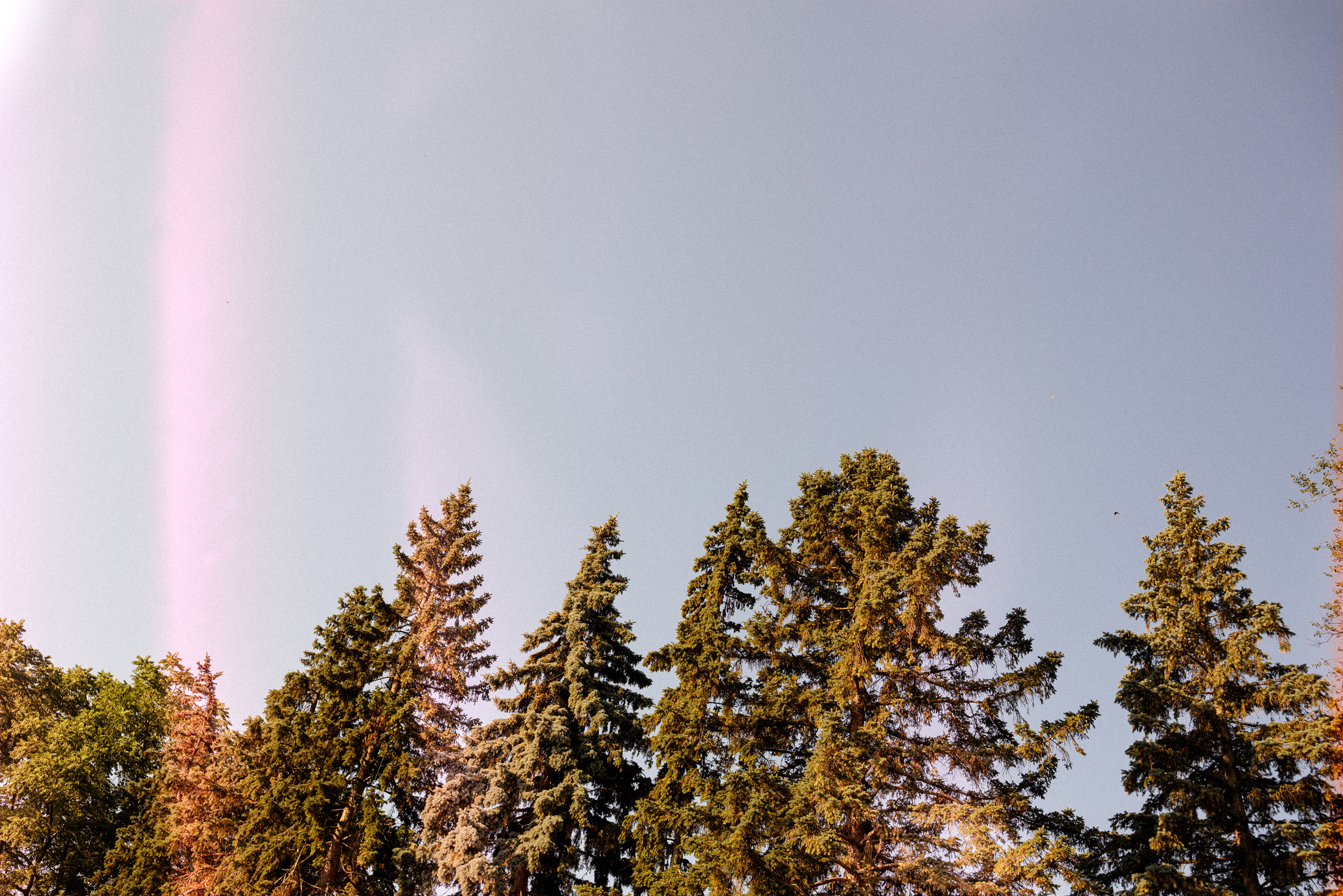 pine trees morning light
