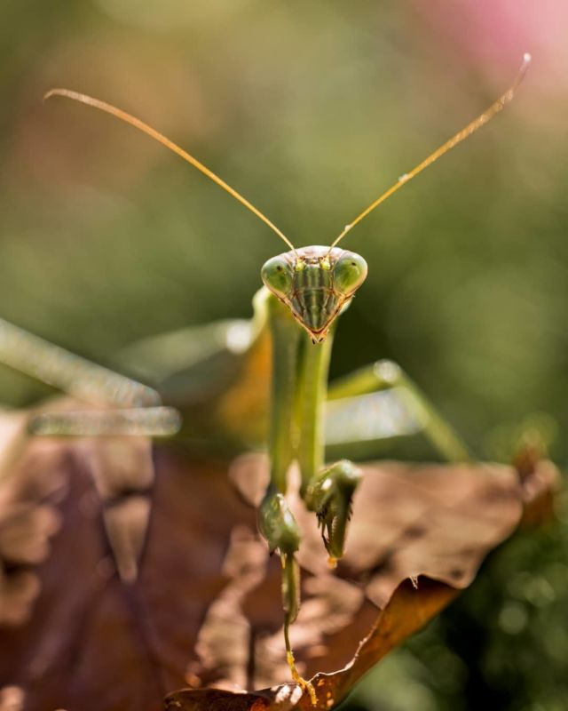 Does this count as a portrait?  .  Just found this wandering around the yard. Apparently, they eat every other horrible bug, sonic think we'll keep it around. #afterglownature . #bug #prayingmantis #insect #portrait #macro #smile #niagaraphotographer #niagara #macrophotography #canon #prayingmantisofinstagram @canoncanada #wildlife #nature #naturephotography #thirdeye #hamiltonphotographer #mantis #yuck